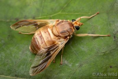 Goniops chrysocoma