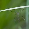 Phantom Crane Fly male<br /> Bittacomorpha clavipes