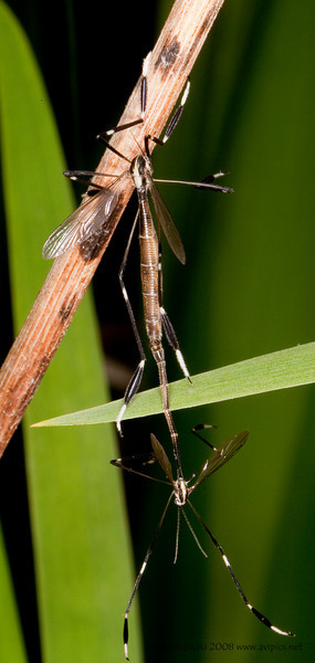 Phantom Crane Fly mating,female on top<br /> Bittacomorpha clavipes