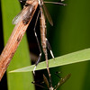 Phantom Crane Fly mating,female on top<br /> Bittacomorpha clavipes