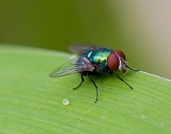 Green Bottle Fly<br /> Lucilia sericata