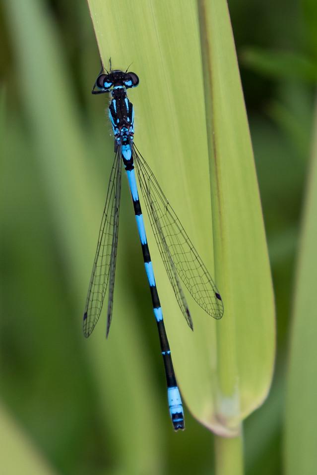 Coenagrion pulchellum, Flagermusvandnymfe, Variable Bluet. Male.