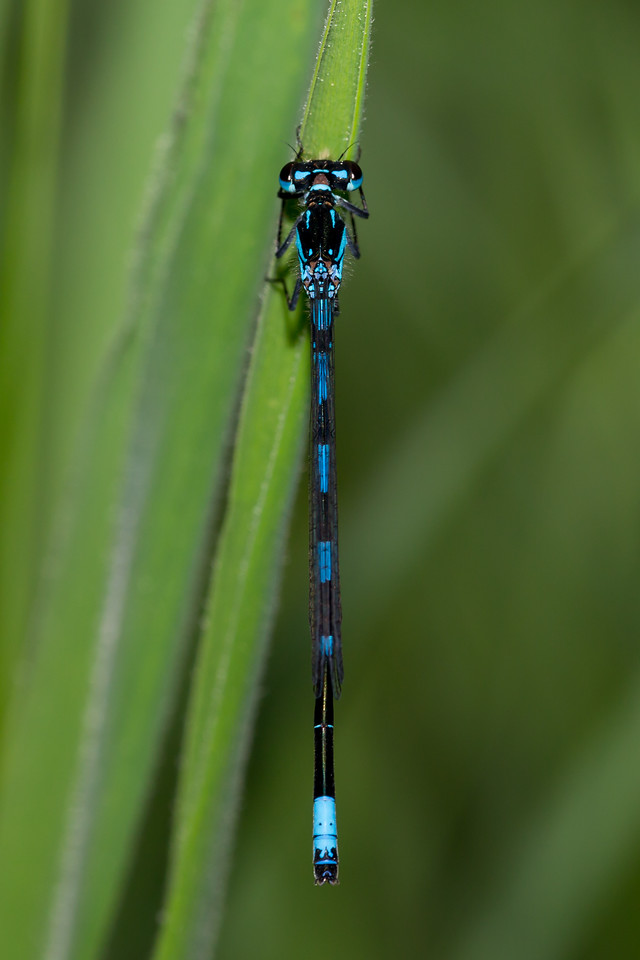 Coenagrion pulchellum, Flagermusvandnymfe, Variable Bluet, male.