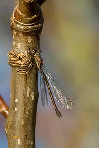 Chalcolestes viridis, Grøn kobbervandnymfe, Western Willow Spreadwing, female.
