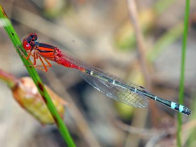 Damselflies & Dragonflies - order Odonata