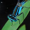 Ischnura heterosticta - Common Bluetail