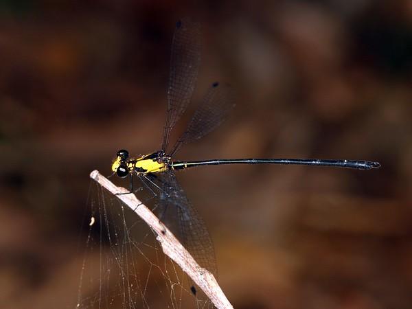 Austroargiolestes aureus - Tropical Flatwing