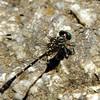 Hemigomphus theischingeri - Rainforest Vicetail