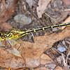 Austrogomphus guerini - Yellow-striped Hunter