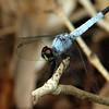 Brachydiplax denticauda - Palemouth (male)