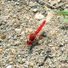 Diplacodes haematodes - Scarlet Percher