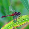 Diplacodes bipunctata - Wandering Percher (male)