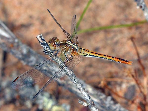 Diplacodes bipunctata - Wandering Percher (female)