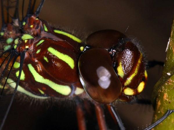 Austroaeschna pulchra - Forest Darner (female)