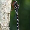 Austroaeschna multipunctata - Multi-spotted Darner (female)