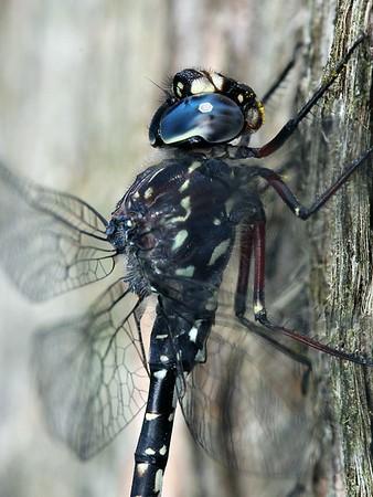 Austroaeschna parvistigma - Swamp Darner
