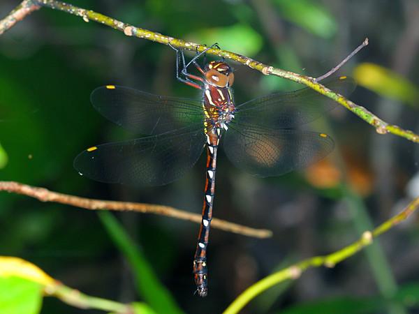 Austroaeschna pulchra - Forest Darner