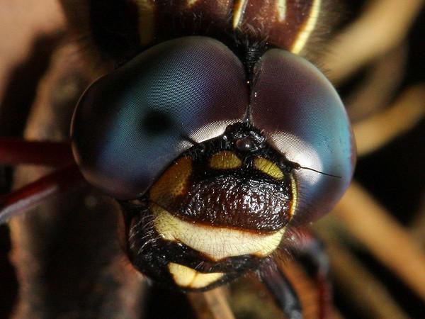 Austroaeschna multipunctata - Multi-spotted Darner (male)
