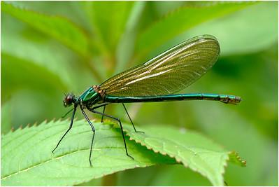 Banded Demoiselle, Colby, Norfolk, United Kingdom, 18 July 2020