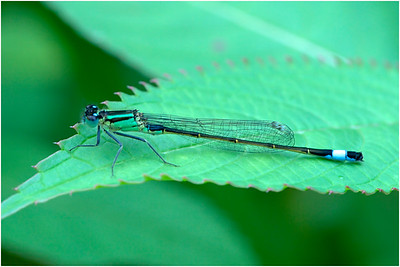 Blue-tailed Damselfly, Colby, Norfolk, United Kingdom, 9 July 2020