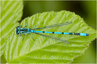 Azure Bluet, Upton, Norfolk, United Kingdom, 16 June 2004