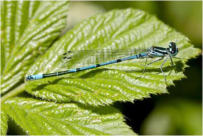 Azure Bluet, Upton, Norfolk, United Kingdom, 28 May 2005