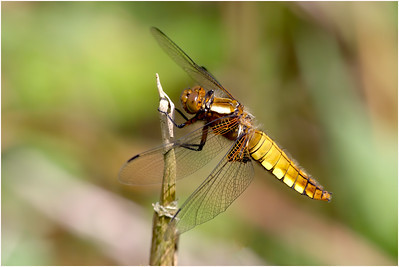 Broad-bodied Chaser, Upton, Norfolk, United Kingdom, 19 May 2016