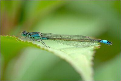 Blue-tailed Damselfly, Colby, Norfolk, United Kingdom, 18 July 2020