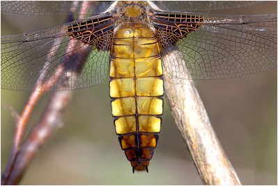 Broad-bodied Chaser, New Forest, Hampshire, United Kingdom, 25 May 2014