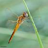 Pantala flavescens dragonfly