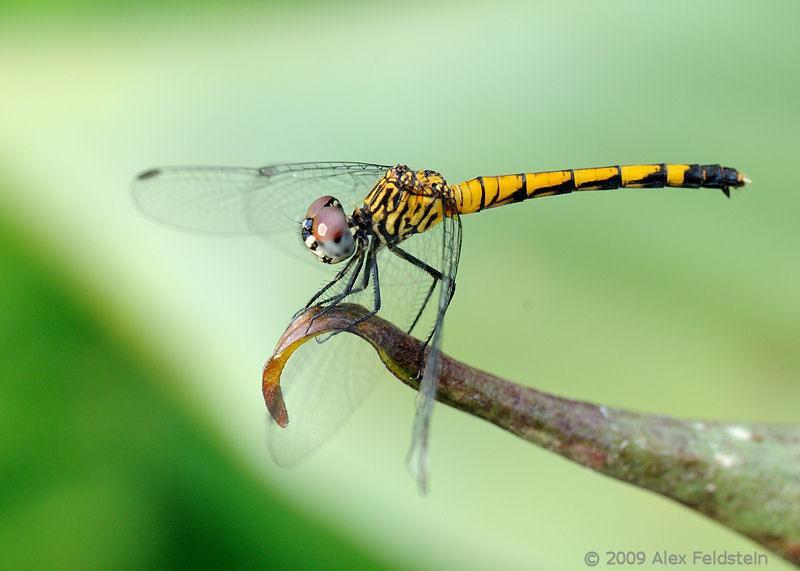 Dragoagonfly