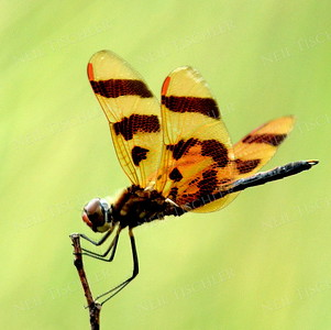 #1105  Halloween Pennant Dragonfly