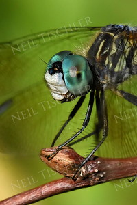 #1399  Dragonfly portrait