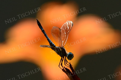 "#1032  Blue Dasher Dragonfly, male in ""Obelisking"" posture to lose heat; with orange daylily in background"