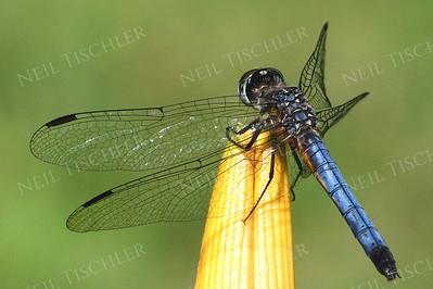 #855  Blue Dragonfly