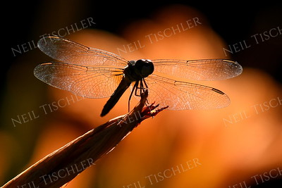 #1400  Dragonfly silhouetted
