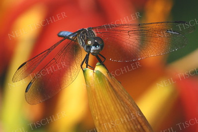 #824  Blue Dasher Dragonfly, male atop daylily bud