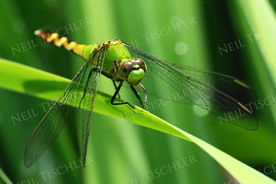 #859  Eastern Pondhawk Dragonfly, female
