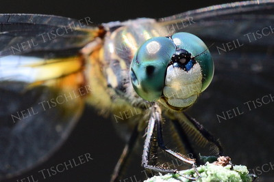 #1043  Blue Dasher Dragonfly portrait, male