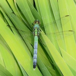 #1013  Common Green Darner, male