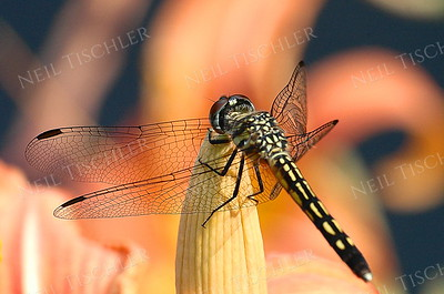 #792  Blue Dasher Dragonfly, female