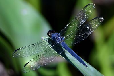 #1564  Slaty Skimmer dragonfly, male