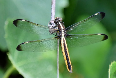 #1499  Spangled Skimmer dragonfly, female