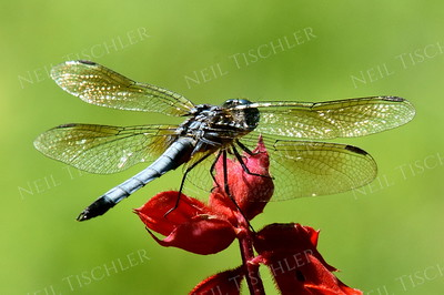 #1126  Blue Dasher Dragonfly, male