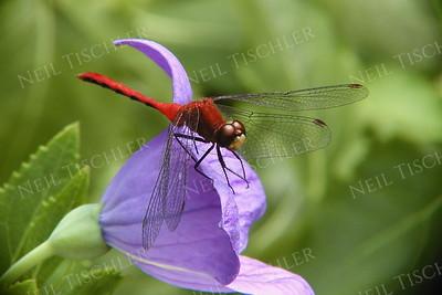 #177  Ruby Meadowhawk Dragonfly, male