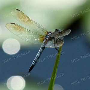 #1186 A sunlit blue dasher dragonfly perches along a pond shore.  Circular glare spots appear from out-of-focus water droplets on distant lily pad leaves.