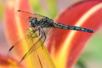 #1419  Dragonfly on striped daylily