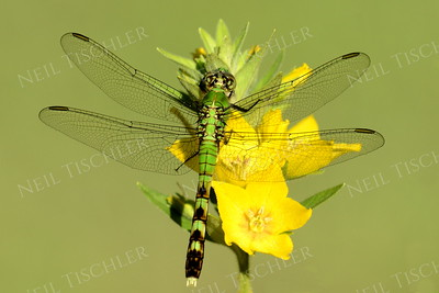 #1125  Eastern Pondhawk Dragonfly, female