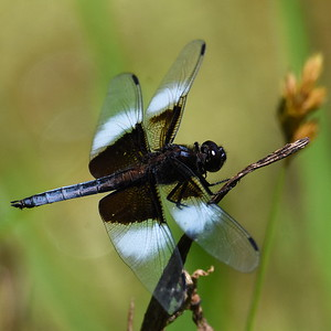 #1493  Widow Skimmer dragonfly, male