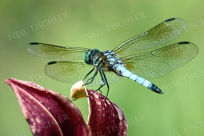 #775  Blue Dasher Dragonfly, male